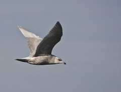 Iceland Gull, Sandy Hook, NJ