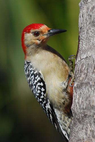 Red-Bellied Woodpecker | by RuudVisser