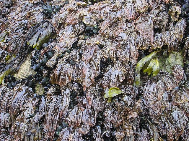 lafwr - Porphyra umbilicalis