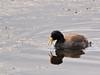 Andean coot, juv. (Fulica ardesiaca), Lago Chungara, Lauca Nat. Park by Niall Corbet