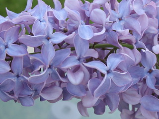 Lilacs | by oceanwaves2