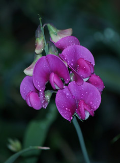 sweet-peas | by joe.rudd