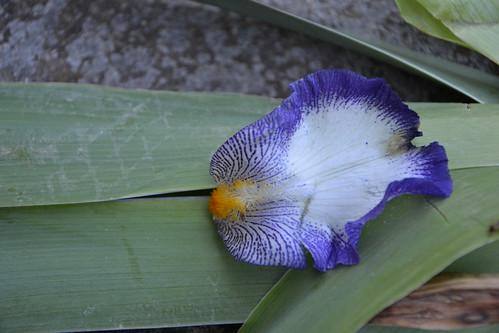 Iris barbus - soins 32692038260_a3d49a8ee1
