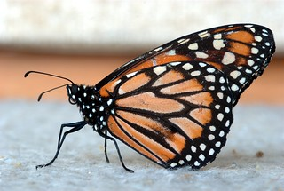 Monarch butterfly / Mariposa Monarca | by EGraf