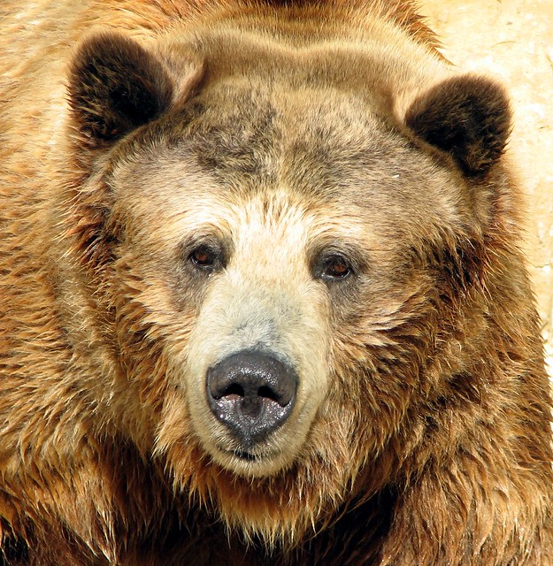 Grizzly Hello