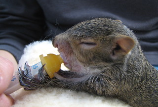 Breakfast Time For Rehabbing Baby Gray Squirrel | by audreyjm529
