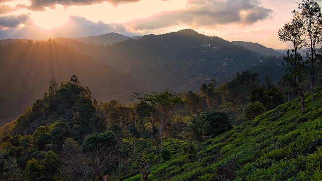 Tea Plantation, Ella Sri Lanka