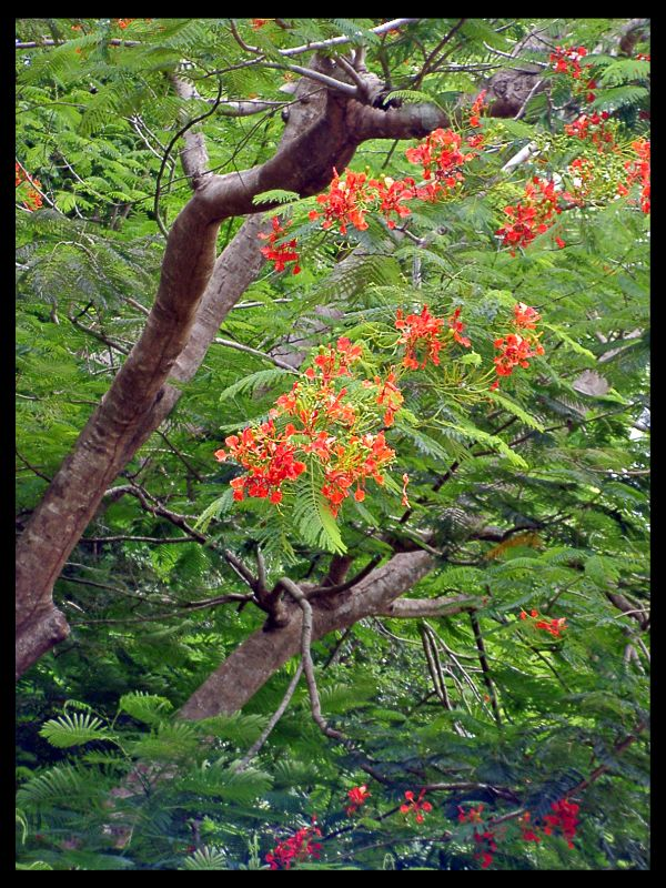 Guam: a tree in Inarajan Village