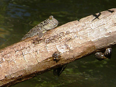 mudskipper | by East Asia & Pacific on the rise - Blog