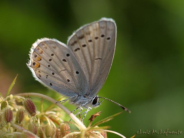 Lycaenidae Everes argiades