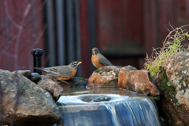 The robins have found my new waterfall
