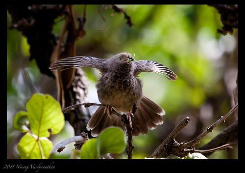 birds sevensisters nilgiri masinagudi junglebabbler mudumalainationalpark canoneos1dmarkiii timaliidae saathbhai nilgirihills aroundbangalore turdoidesstriata bokkapuram niranjvaidyanathan canonef100400f4556usmlis