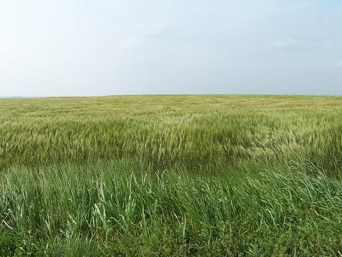 Sea of Wheat | by programwitch