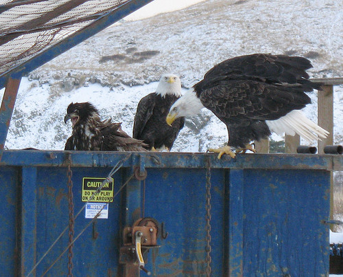 dumpster eagles | by sonyaseattle