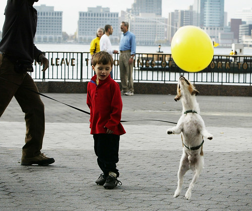 Zeke, a Jack Russell Terrier, chases a balloon