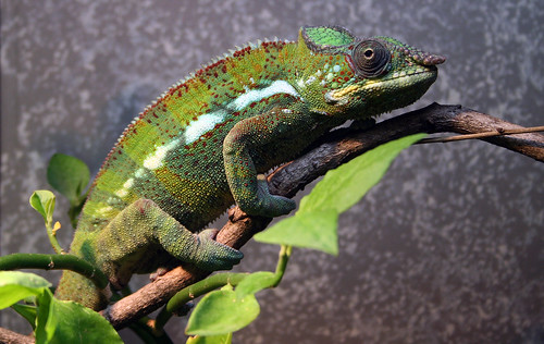 Chameleon | by kittenfc