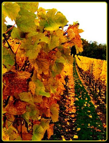 autumn fall leaves yellow oregon catchycolors vineyard weekend roadtrip winetasting grapes pete salem 500views picnik winecountry 2007 willamettevalley pete4ducks peteliedtke cristomvineyards