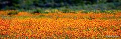 Namaqualand Wild Flowers | by Martin_Heigan