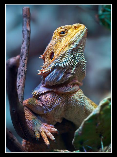 Bartagame (Bearded Dragon)