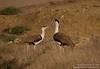 Great Indian Bustard (Ardeotis nigriceps) by AvianDiversity - Arpit Deomurari