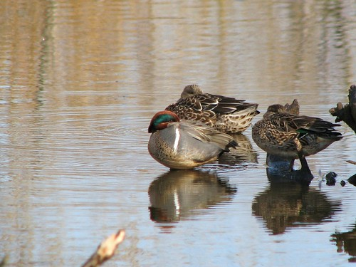 Green-winged Teal (Anas crecca) | by Crappy Wildlife Photography