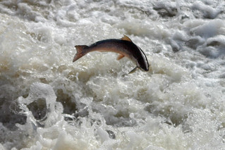 Salmon run   by Kingfisher blue
