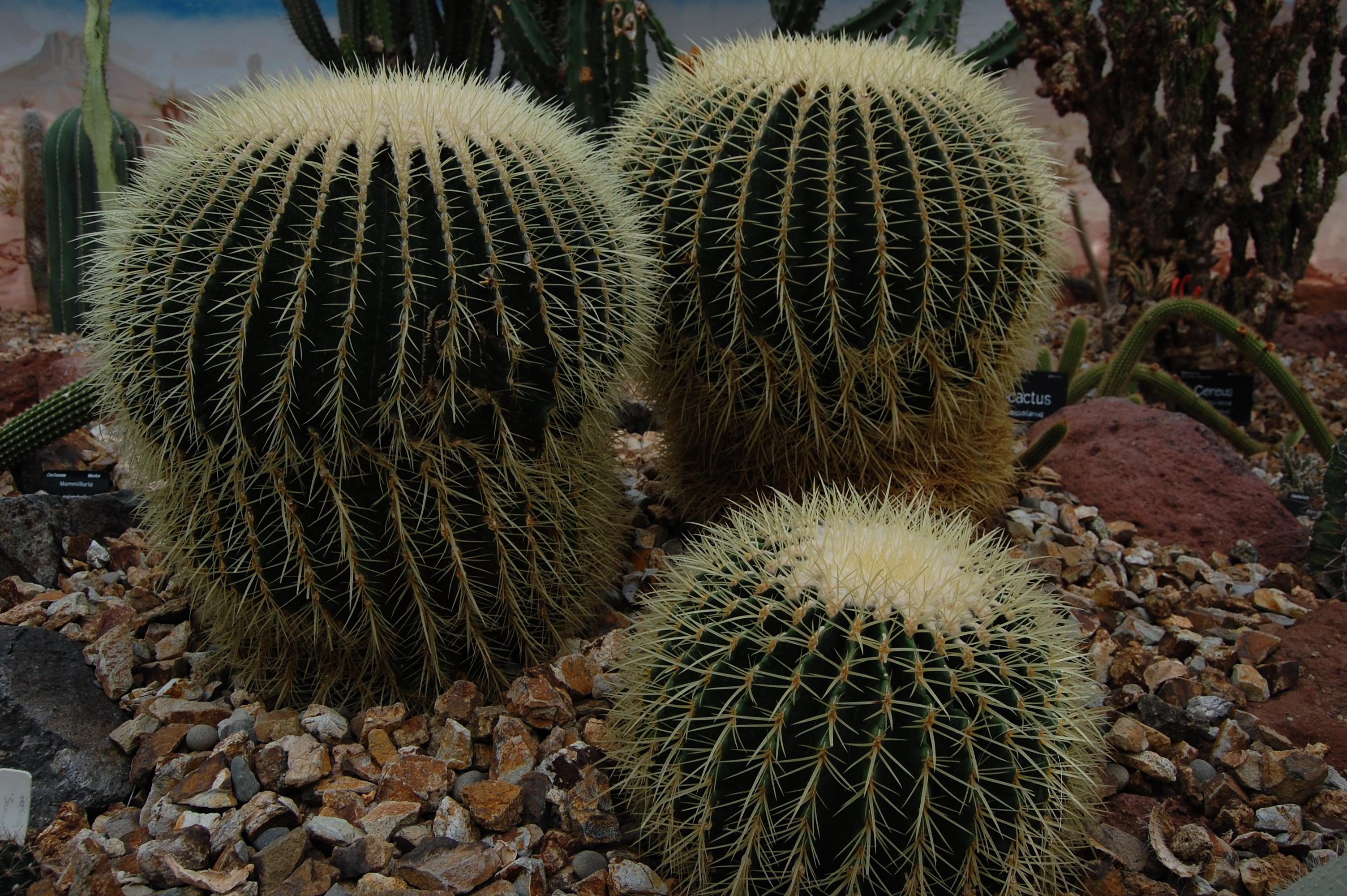 Siroky kaktus