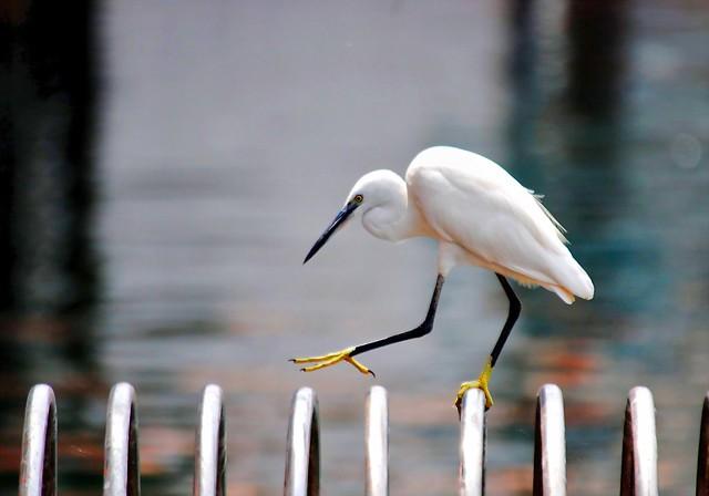 ആശാരിക്കൊക്ക് Carpenter Egret