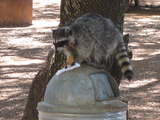 raccoon on a can   by thomas pix