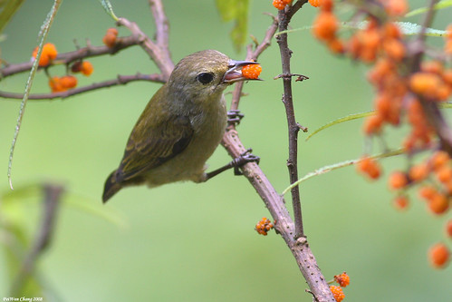 綠啄花鳥 Plain Flowerpecker | by dotcool