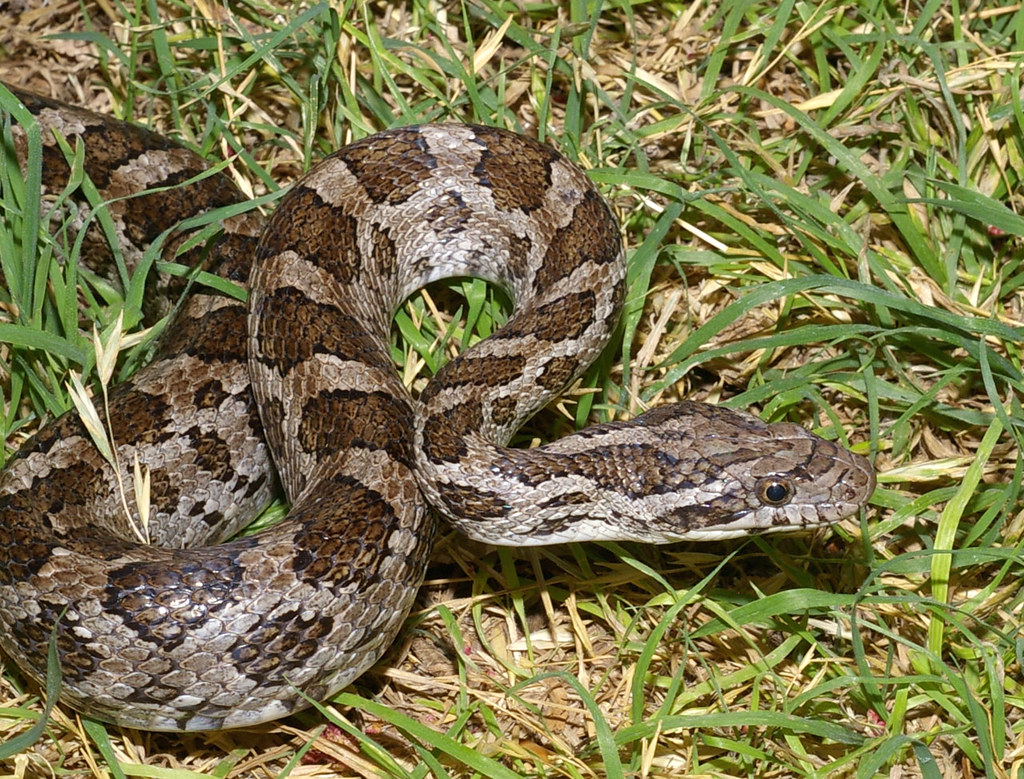 Great Plains Rat Snake, west Texas | Pantherophis emoryi Bal