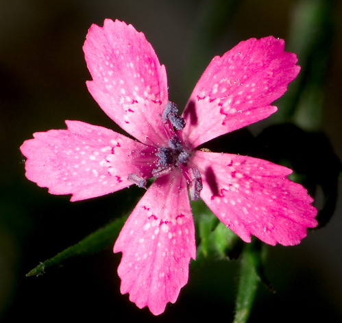 Tiny Wildflower | by TrombaMarina