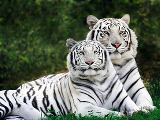 White tigers | by Jack Fiallos