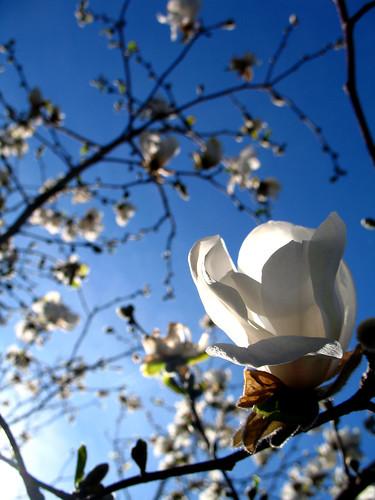 nh magnolia saintgaudens blueribbonwinner