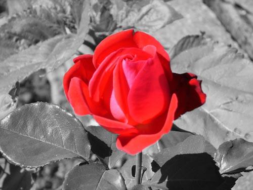Rosa Rossa Su Sfondo Bianco E Nero Una Rosa Rossa Su Sfond Flickr
