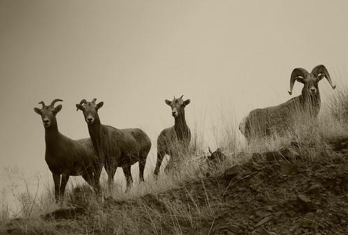Bighorn Sheep   by Scott Butner