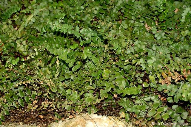 Adiantum atroviride - Common Maidenhair Fern