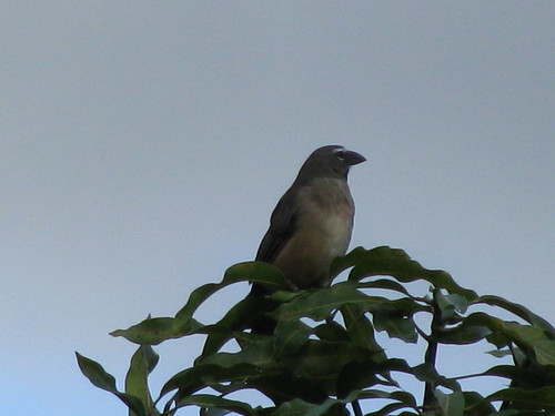 Greyish Saltator, 40x Digital Zoom (30 feet away) (8) | by TaranRampersad
