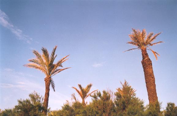 Des palmiers I