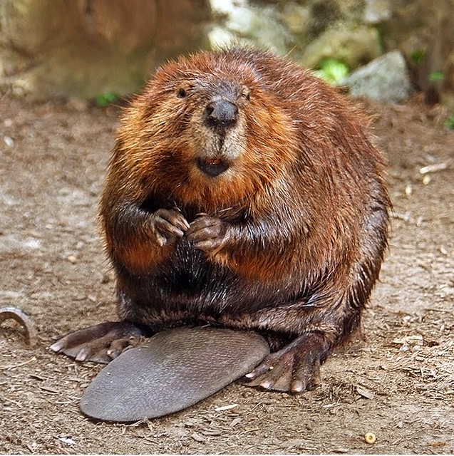 Happy Beaver | UPDATE: Hi folks, please feel free to use thi… | Flickr