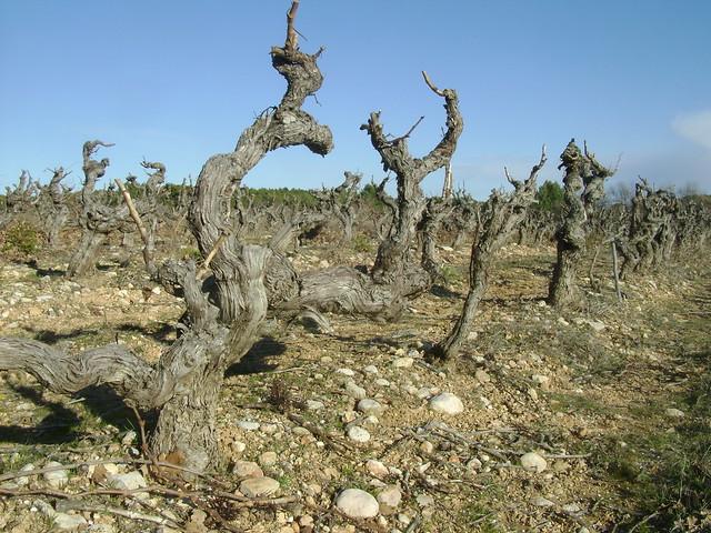 Vitis vinifera - vigne 32587247570_9bd892e990_z
