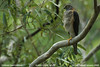 Collared Sparrowhawk (Accipiter cirrocephalus) by aviceda