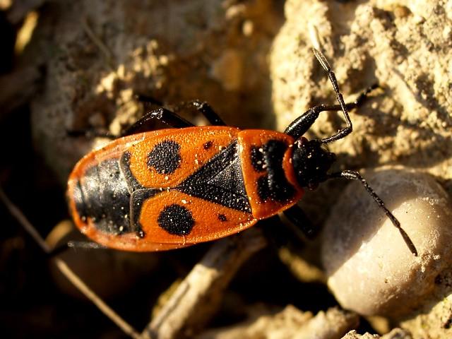 Poll de moro - Chinche roja (Pyrrhocoris apterus) 2