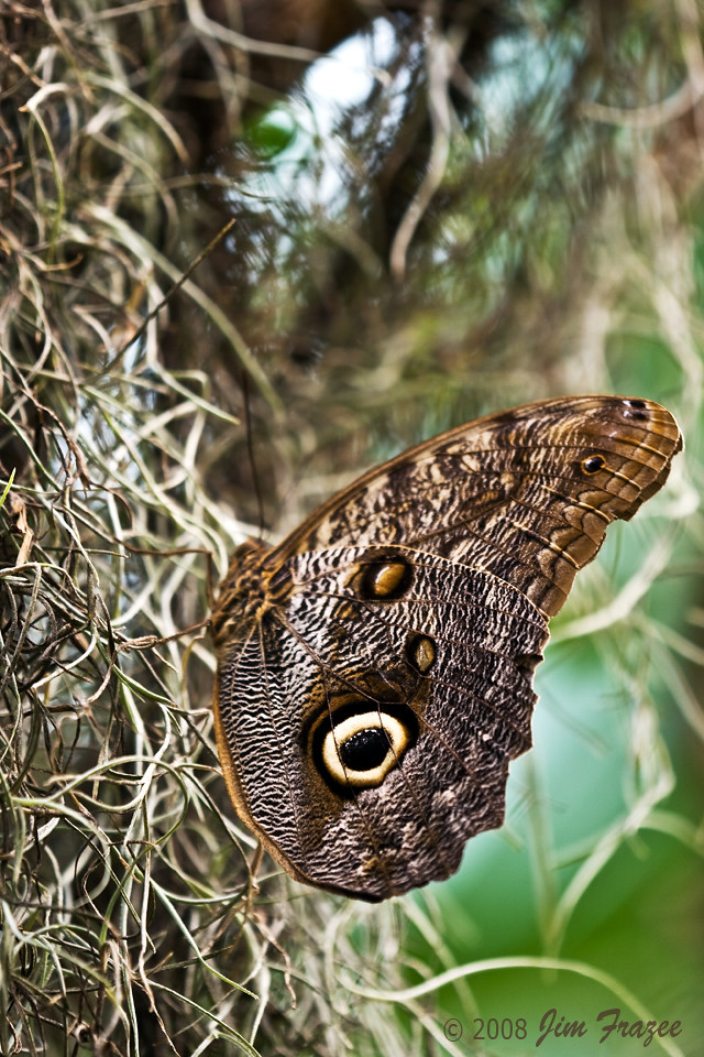 Giant owl (Caligo eurilochus) by Jim Frazee