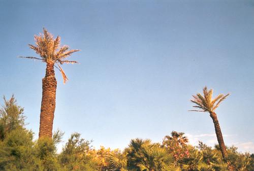 Des palmiers IV