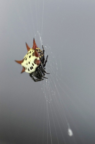 spider florida spinyorbweaver