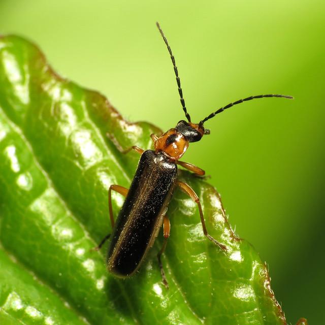 Little Soldier Beetle