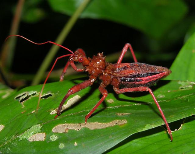 Assassin bug (Erbessus sp, Reduviidae) nymph, Peruvian Amazon