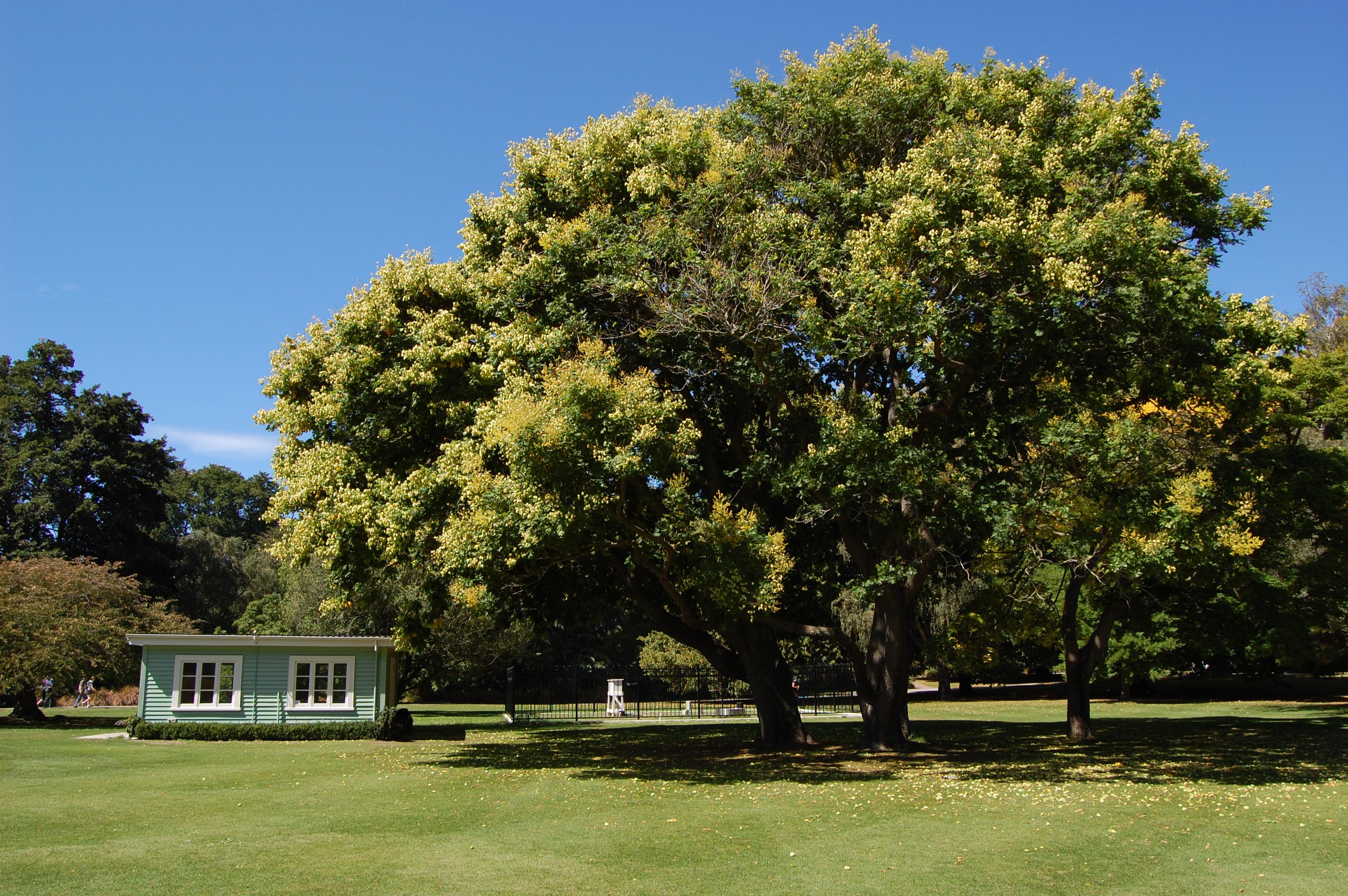 Strom s chajdou