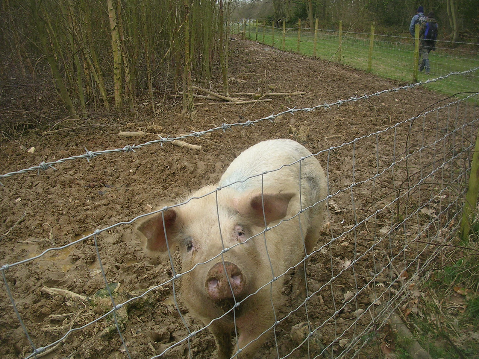 Oink Chilham to Canterbury